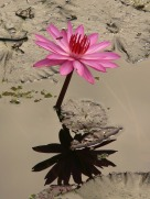 water-lily-4464_960_720